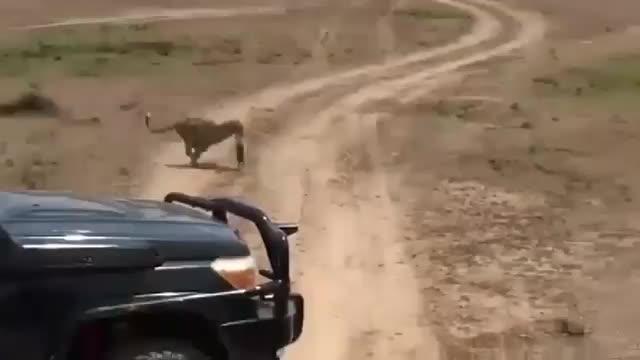 疣猪妈妈从花豹口中救下幼崽无畏的表现镜头记录精彩一幕