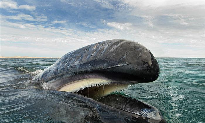 鲸鱼是哺乳动物需要呼吸,为何还生活在海里?