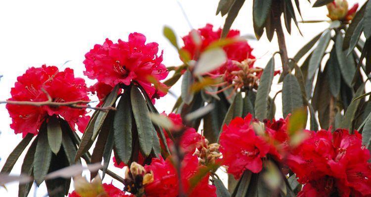 阳春三月樱花:离昆明不远的小新街是我们欣赏马樱花的好地方。