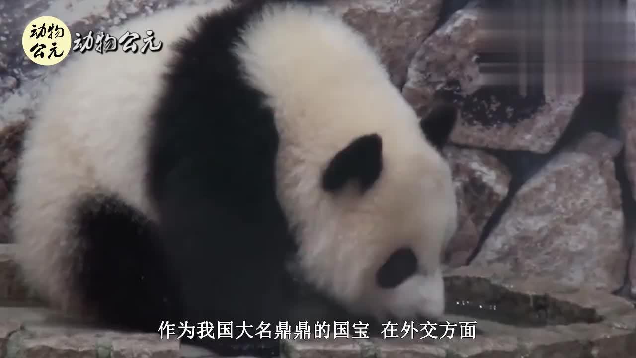看看在日本生活的大熊猫奶妈寸步不离照料网友们羡慕至极