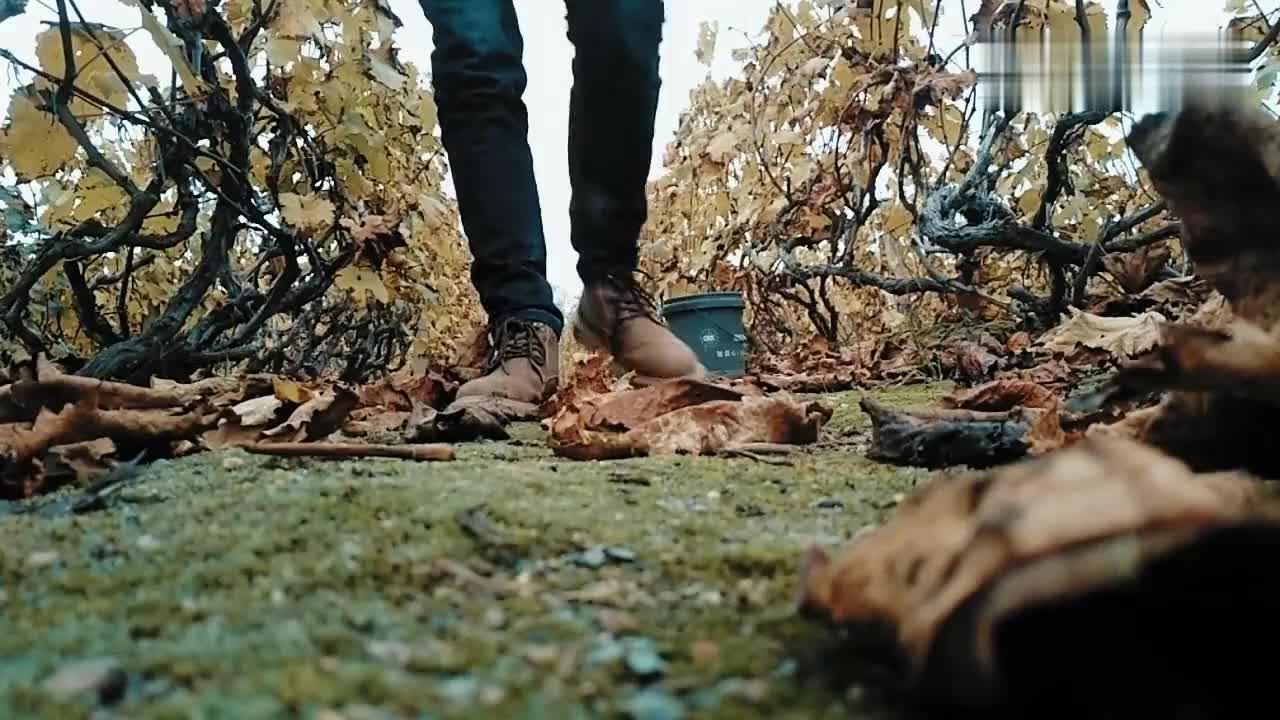 天水葡萄园今年葡萄没人要7成坏地里了还能种植吗
