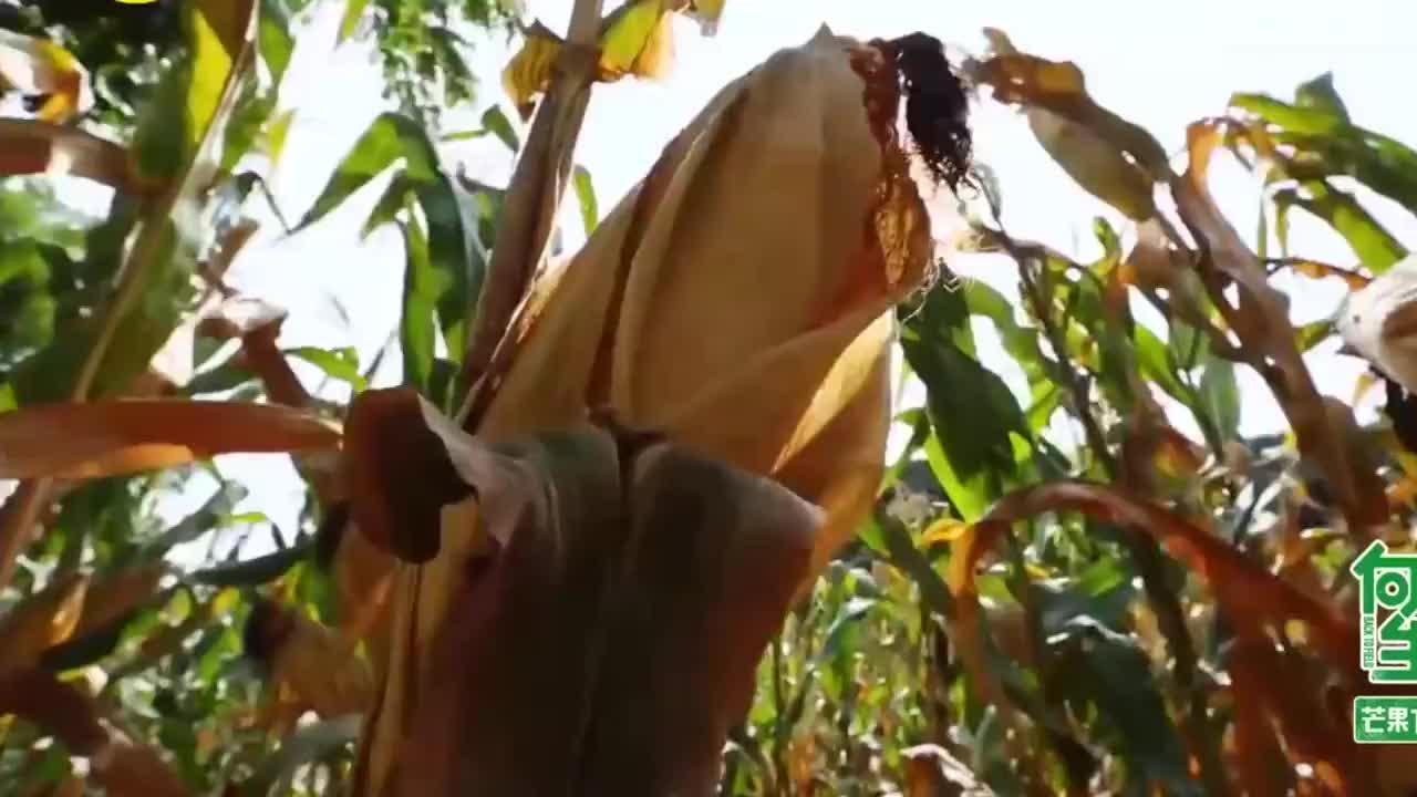 向往的生活海清李解上演玉米地之恋真是看几遍笑几遍