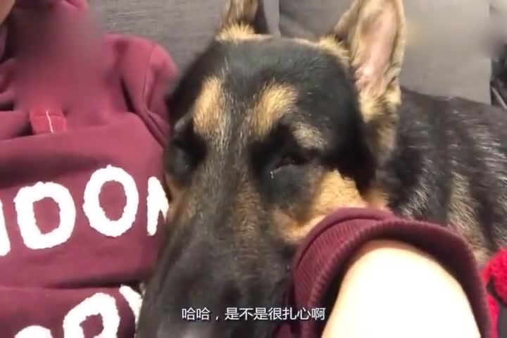 小奶狗:我一出生就是小警犬!网友:你一出生就是公务员!