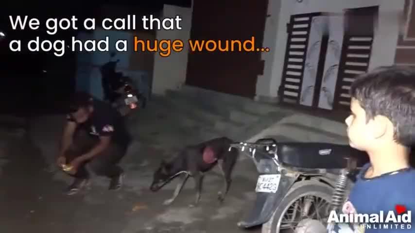 流浪狗身上一大块皮肤被撕掉了露出鲜红的肉痛得不停的舔