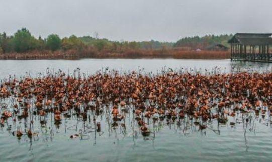 溱湖湿地公园,来这里看黑天鹅