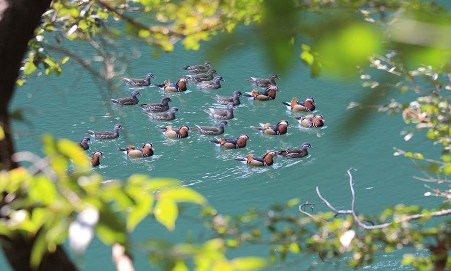 鸳鸯溪,是中国唯一的鸳鸯鸟保护区。