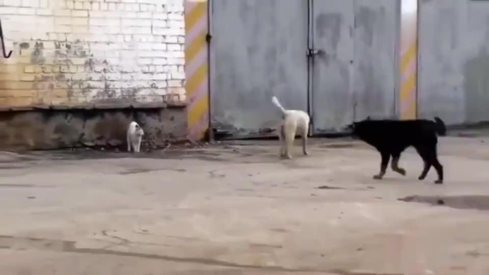 两条狗子就敢造次了你怕是不知道喵星人的实力