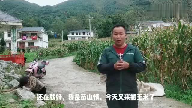 云南昭通农村收玉米有的人家用马把玉米驮回家看着好辛苦