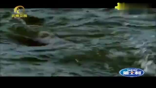 公鱼争着吸引母鱼隆起的背部和倒钩的嘴巴让母鱼为之疯狂
