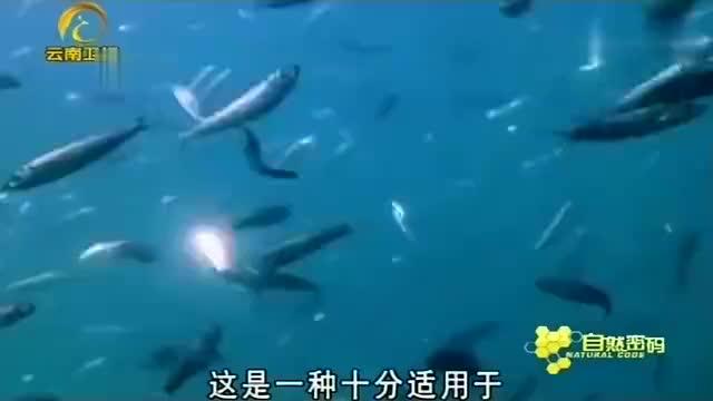 座头鲸发出尖叫声折磨鲱鱼惊慌失措的鲱鱼成了座头鲸的盘中餐