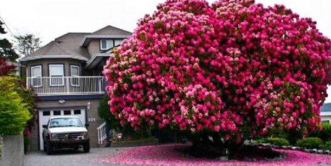 地球最珍贵的5棵树,一棵在中国价值上亿,并且还为其买1亿保险