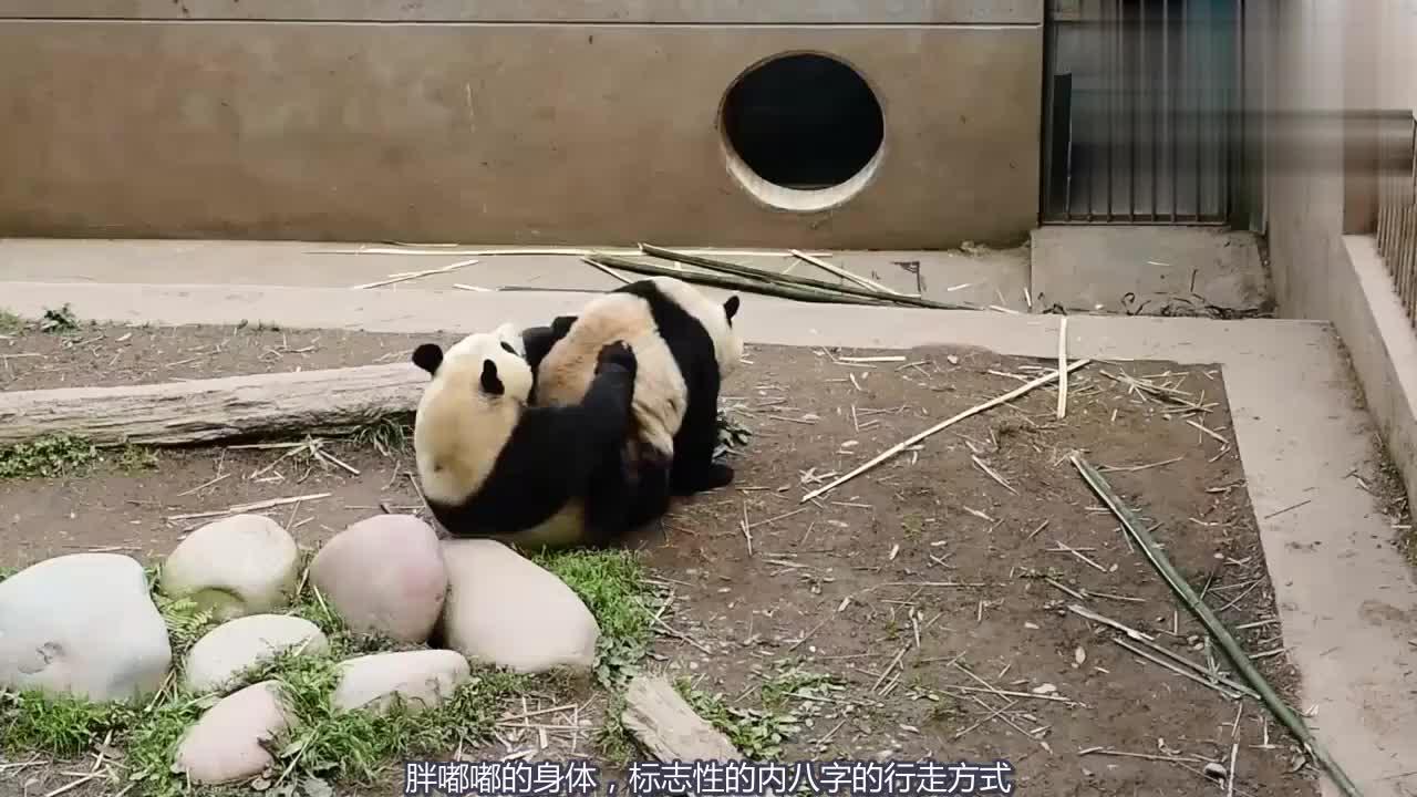 看着熊猫小幼崽太可爱了让人忍不住都想要养一只看看了