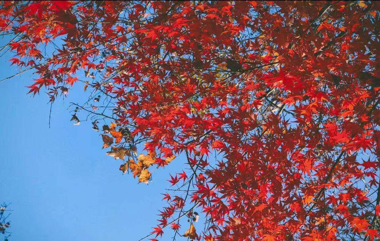 春牛首,秋栖霞,中国四大赏枫胜地之栖霞山迎来最佳观赏期