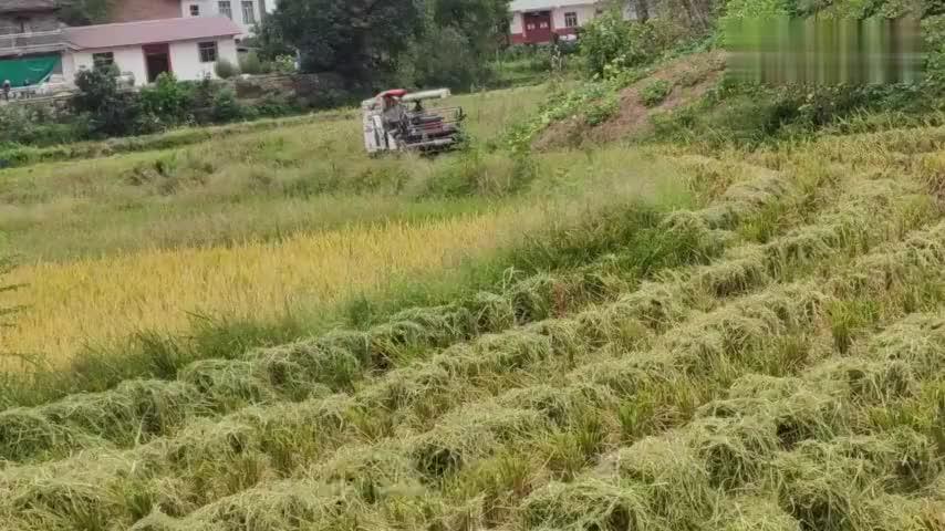 重庆市长寿区收割机!收割谷子、100块钱一亩!大家说说看贵不贵