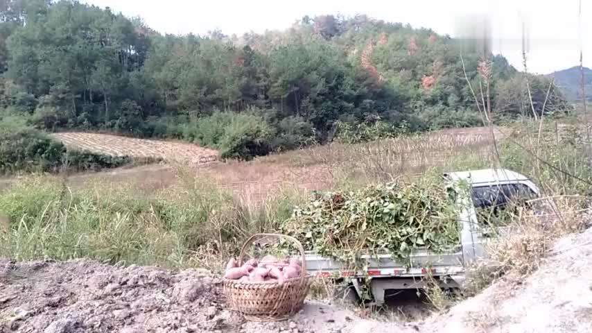 高山红薯飘香黄山市徽州区农民红薯翻耕丰收忙