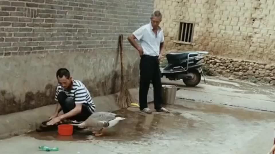 我家大鹅爱撒娇这是要我爸给它洗澡吗咱也不懂咱也不敢问