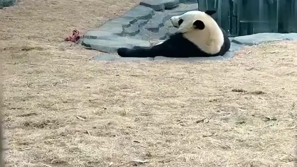 熊猫大金虎当金虎先生发现零食部开门后马上颠颠跑过来