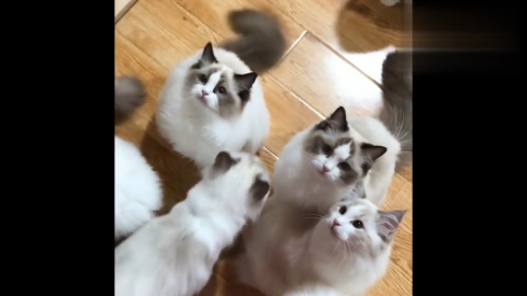 """布偶猫日常:满地行走的""""人民币"""",一只比一只可爱"""