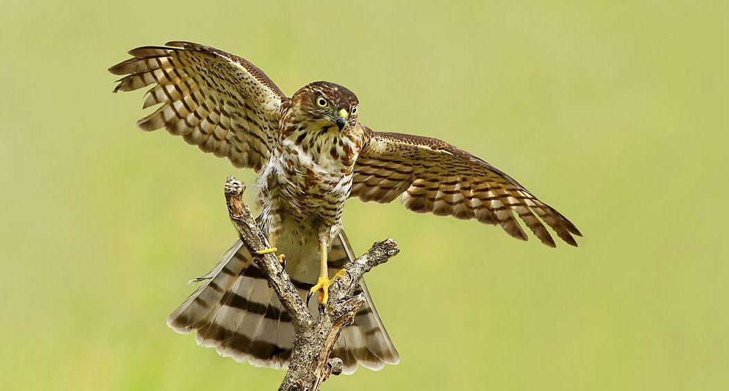 性情机警的森林独行猛禽——凤头鹰雕