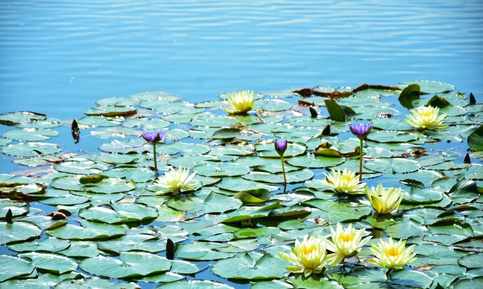 让我想起莫奈的《池塘.睡莲》——广州创业公园的睡莲