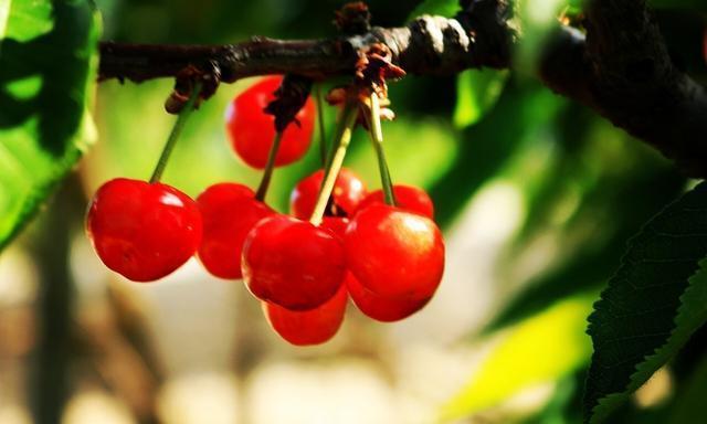 樱桃红了,娇媚可人的红樱桃等你来品尝,那来自初夏的甜蜜诱惑!