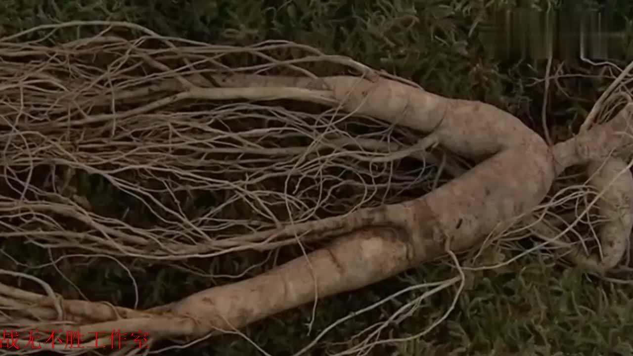 吉林省抚松县是人参种植之乡,这里有人参批发市场