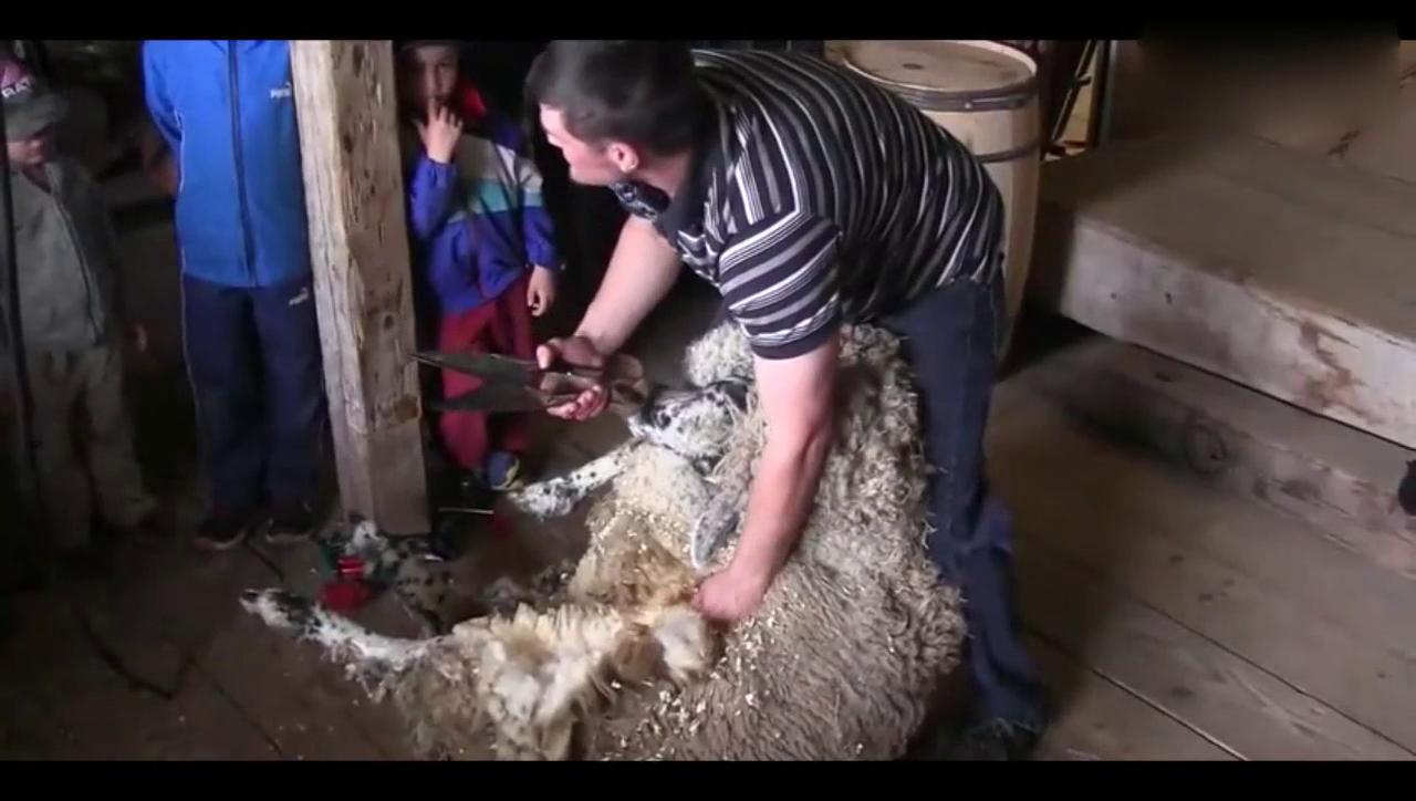 农场主手中的推子可真好使,羊毛剃完后露出粉色的肉