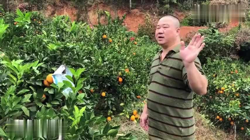 广东这种水果大丰收又大又甜少人来收购卖不出去