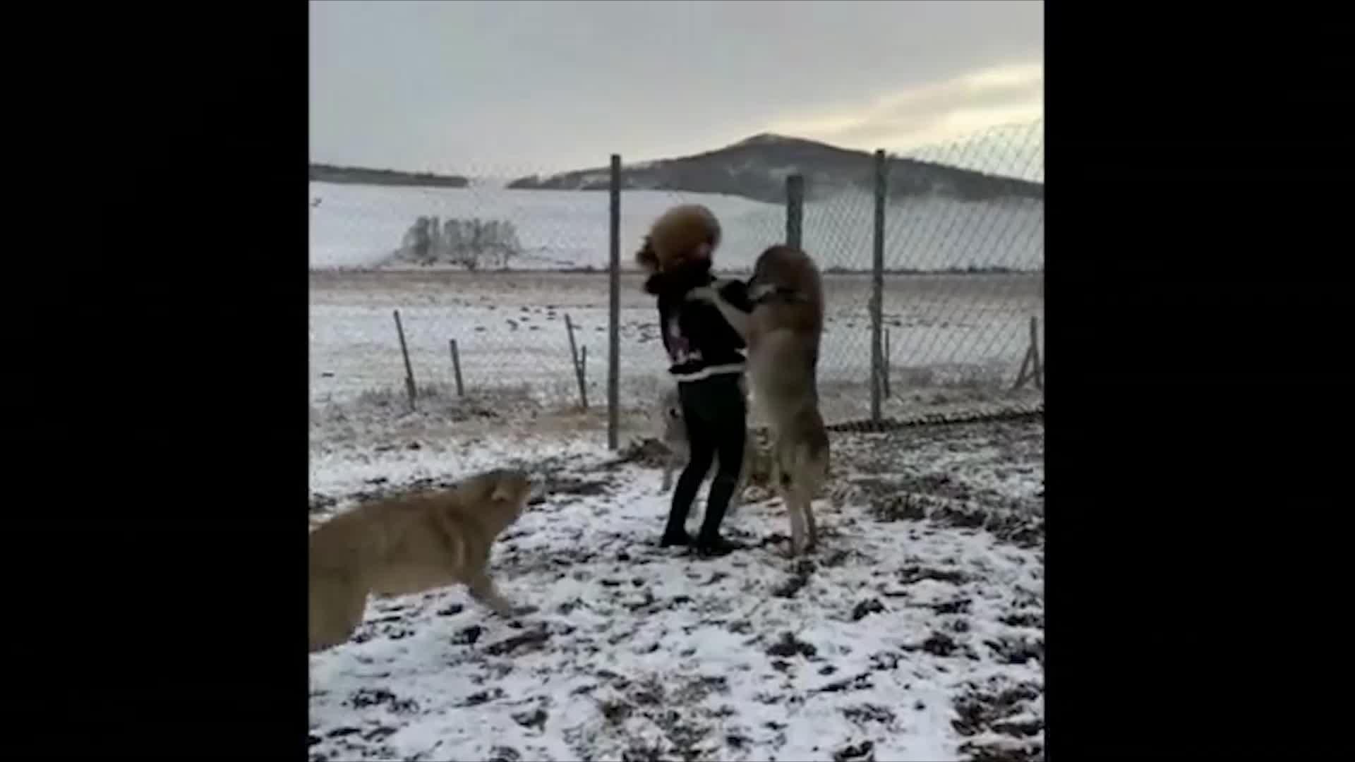 小姐姐闯入狼群竟然还敢呵斥野狼我就想知道这底气是哪来的