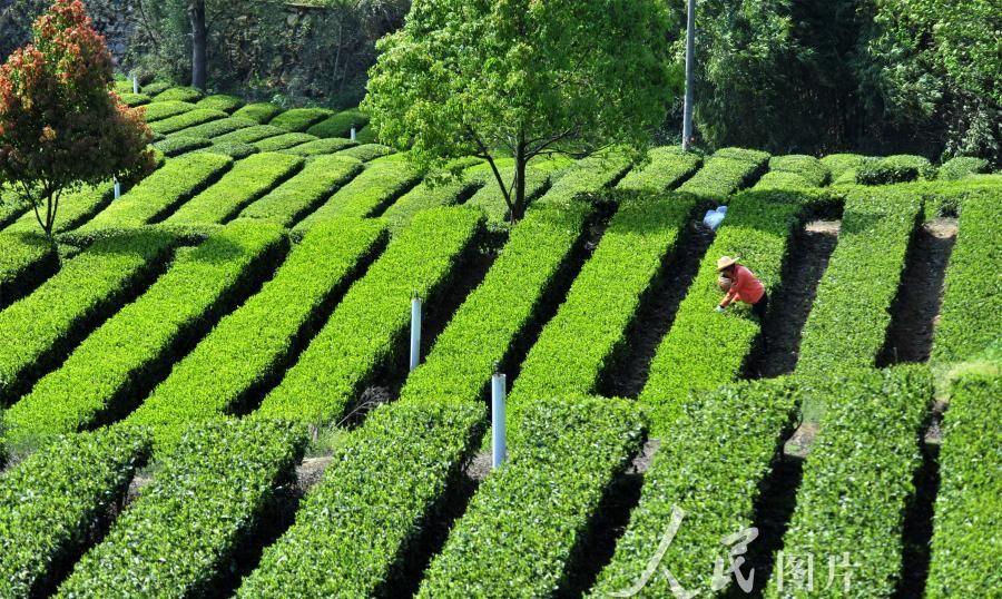 湖北宜昌:清明时节忙采茶