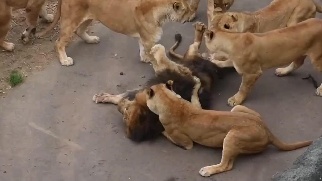 母狮子合力惩罚雄狮,压在地上撕咬,雄狮哀嚎求饶