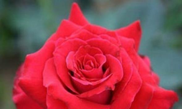 """喜欢菊花,不如养盆""""玫瑰珍品""""莎萨九零,高贵典雅花型丰满"""