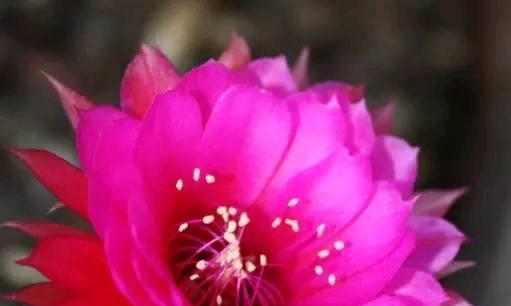 喜欢养花,就养令箭荷花,花朵娇艳,如仙子下凡。