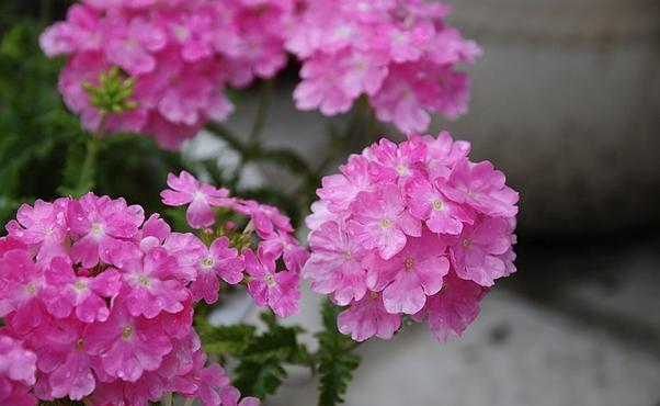 喜欢养花,就养一盆美女缨,一团一簇,娇艳无比。