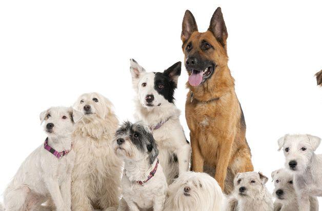 这种狗狗真的好呆萌,小动物就和家人一样,看家小能手