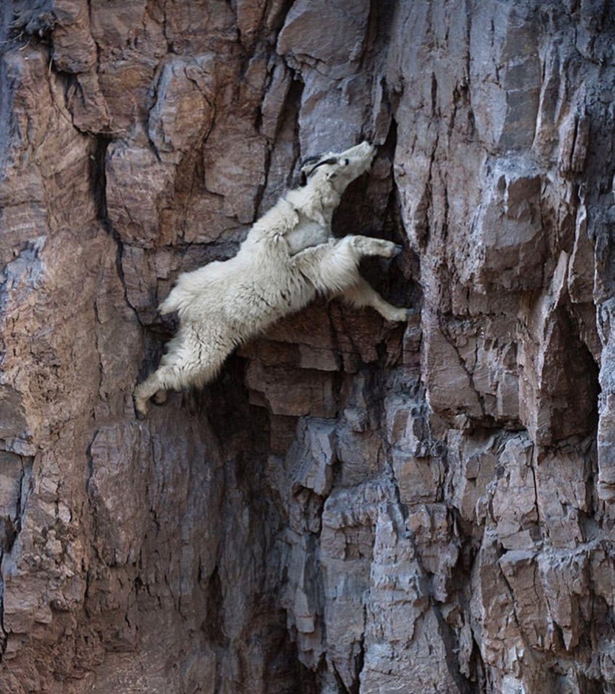 图片世界:山羊从陡峭的岩壁上下来舔露出来的盐