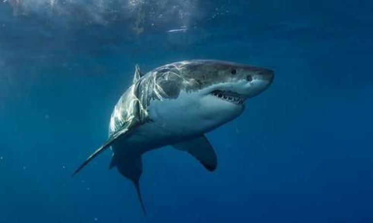 大白鲨身上干干净净,为何鲸鱼身上都是附着物?科学家做出了解释