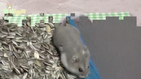 仓鼠嘴巴塞满食物,那画面让人顿生怜爱,我也想养一只!