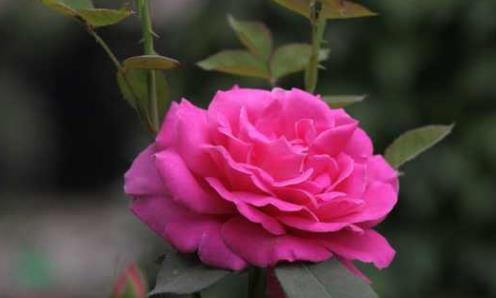 """喜欢菊花,不如养""""玫瑰精品""""安妮公主,草莓香味,花色艳丽"""