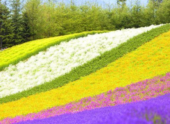 富田农场大片花海延伸到山坡上,组成了一幅五彩画卷,简直美翻了