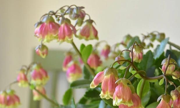 新品盆栽长寿花,花超好看,比绿萝还好养,花期超半年,值得拥有