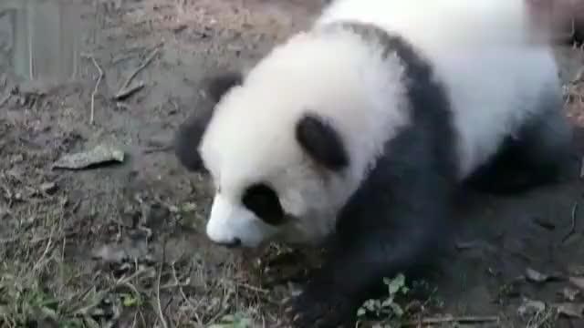 「熊猫绩笑」只要你会说四川话就能引起绩笑宝宝的注意