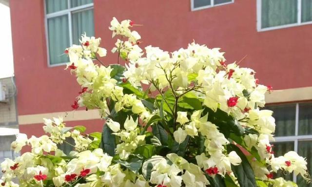 阳台养花就选它,花量大、花期长,开花就有好兆头