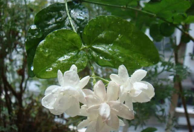 最美丽的歌与最美丽的花朵,太美了!
