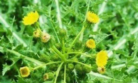 """农民们种植的""""黄花地丁"""",嫩叶是天然蔬菜,晒干后泡茶能降压"""