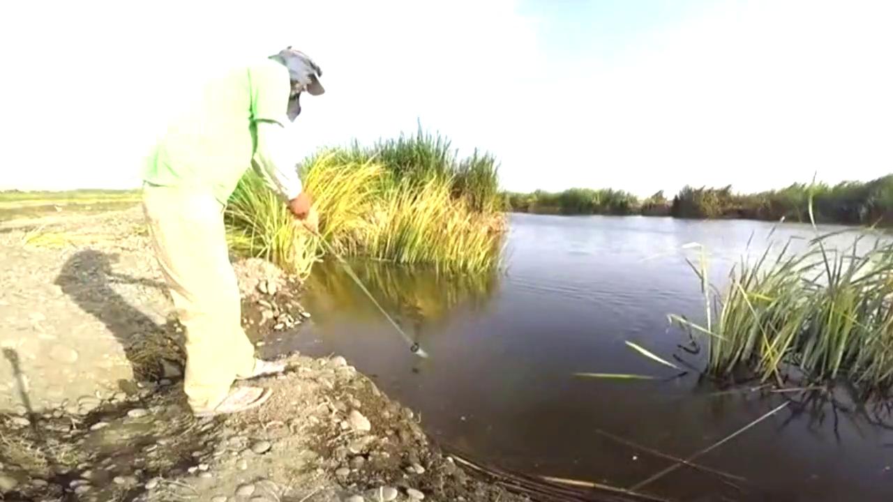 这么近的水边撒一网,也能逮到好几条大罗非鱼