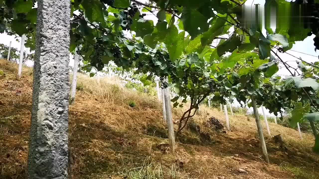 寻找初心踏进湘西的高山葡萄园尝过才知酸和甜