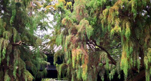 这棵树在这里生长了500多年,看似柏树不是柏树,您知道名字吗?