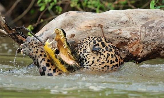 金钱豹河边喝水,不料被鳄鱼偷袭,结果却出人意料