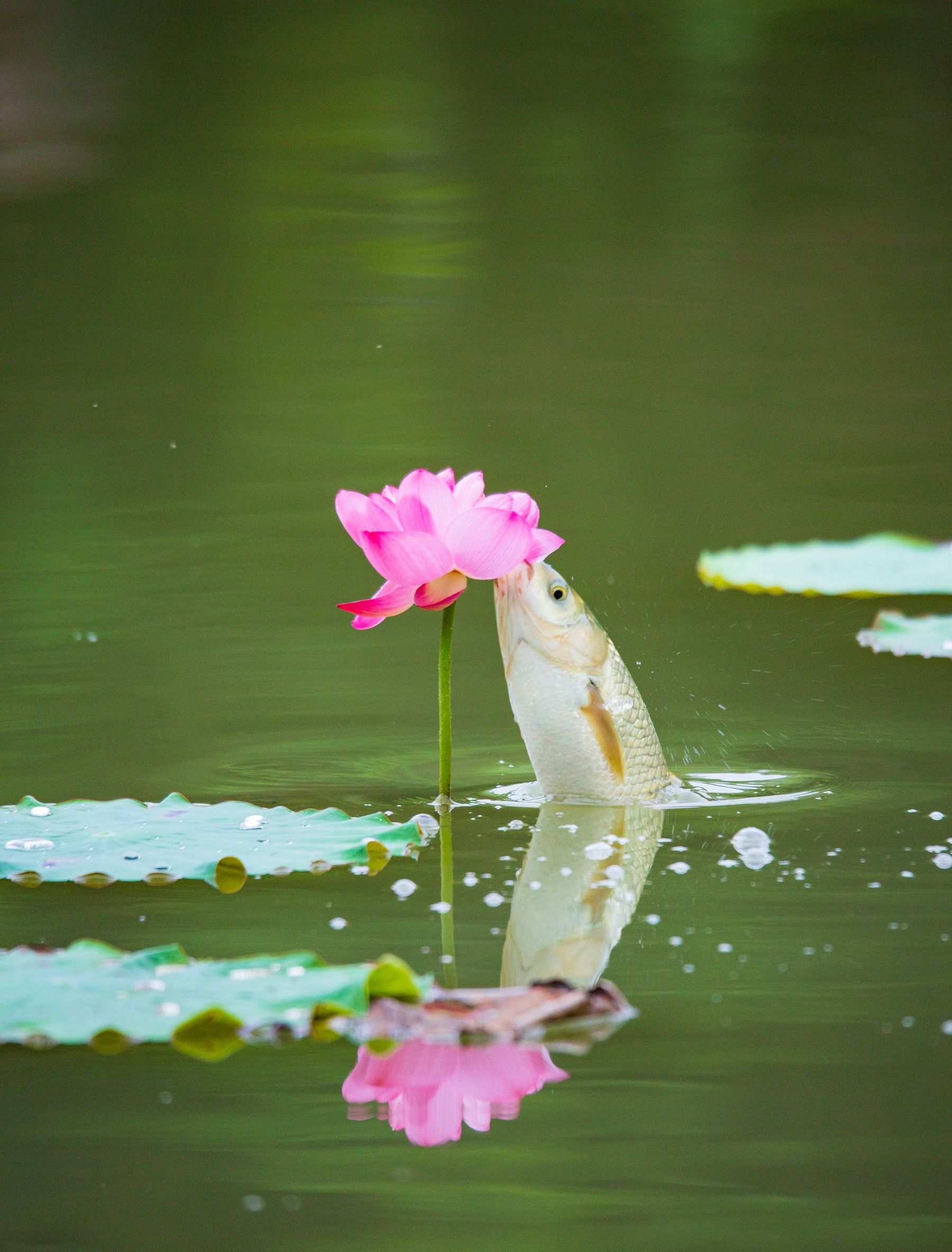 生态摄影:鱼啄荷花